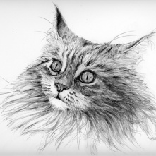 pencil cat Maine Coone